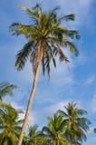 kokosowy drzewko palmowe obraz royalty free
