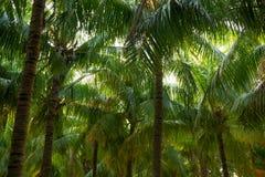 Kokosowy drzewko palmowe jako naturalny tło Zdjęcia Stock