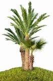 Kokosowy drzewko palmowe odizolowywający na bielu Fotografia Stock