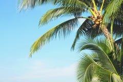 Kokosowy drzewko palmowe opuszcza z niebieskim niebem, tropikalne palmy przy pogodnym letnim dniem fotografia stock