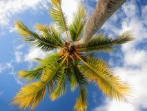 Kokosowy drzewko palmowe w Mauritius Obrazy Royalty Free