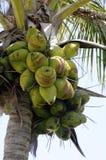 kokosowy drzewo Zdjęcia Royalty Free