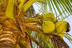 kokosowy drzewo Fotografia Royalty Free