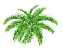 Kokosowy drzewo ilustracja wektor
