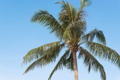 Kokosowy drzewo Zdjęcie Royalty Free