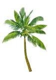 kokosowy drzewo ilustracji