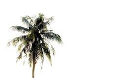 Kokosowy drzewo na bielu Obrazy Stock