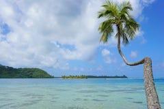 Kokosowy drzewo opiera nad laguną Francuski Polynesia fotografia royalty free