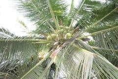 Kokosowy drzewo przy Boracay plażą, Sta Maria, Davao Okcydentalny fotografia stock