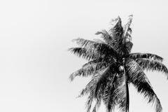 Kokosowy drzewo w czarny i biały tle Fotografia Royalty Free