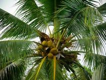 Kokosowy drzewo w miasto parku Fotografia Stock