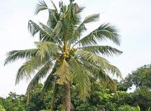 Kokosowy drzewo w ogródzie zdjęcia stock