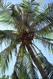 Kokosowy drzewo z dokrętkami w Wietnam Zdjęcie Stock