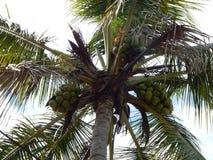 Kokosowy drzewo z owoc obrazy royalty free