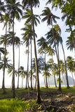 Kokosowy gaj Zdjęcia Royalty Free