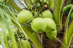 Kokosowy grono na kokosowym drzewie Zdjęcia Stock
