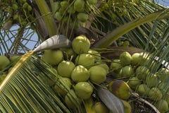 Kokosowy i kokosowy drzewo w tropikalnym kraju fotografia stock