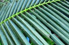 Kokosowy liść Zdjęcia Royalty Free
