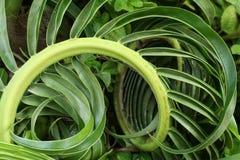Kokosowy liść i foremka, bakterie Fotografia Stock