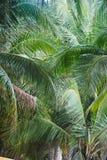 Kokosowy liścia tło w Tajlandia obrazy stock