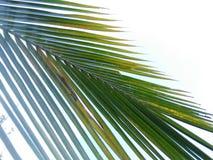 Kokosowy li?? obraz royalty free