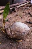 Kokosowy narodziny fotografia stock