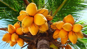 kokosowy stary drzewo Obraz Royalty Free