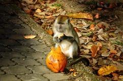 Kokosowy złodziej Obraz Royalty Free