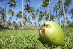 Kokosowy Zielonej trawy drzewek palmowych gaju niebieskie niebo Fotografia Stock