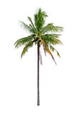 Kokospalm Royalty-vrije Stock Afbeeldingen
