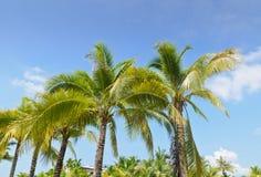Kokospalm Arkivbilder