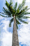 Kokospalm arkivfoton