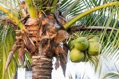 Kokospalm Arkivbild