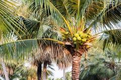 Kokospalm Arkivfoto