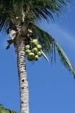 Kokospalm stock foto