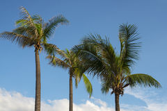 Kokospalm in de Hemel Royalty-vrije Stock Afbeelding