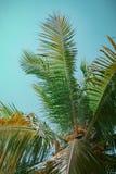 Kokospalm in de zomer stock afbeelding