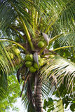 Kokospalm från nordliga Thailand Royaltyfria Foton