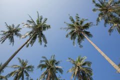 Kokospalm i den blåa himlen Arkivbild