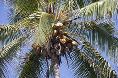 Kokospalm i Hawaii Arkivbilder