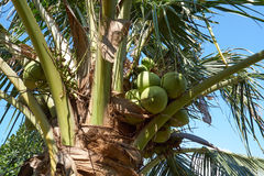 Kokospalm i koloni Arkivfoton