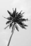 Kokospalm i svartvit bakgrund royaltyfria bilder