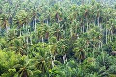 Kokospalm i trädgård Arkivbild