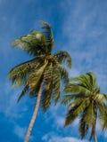 Kokospalm med blå himmel. Arkivfoton