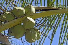 Kokospalm med frukter Arkivfoto