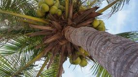 Kokospalm med gröna kokosnötter Arkivbilder
