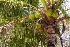 Kokospalm med kokosnötter Fotografering för Bildbyråer