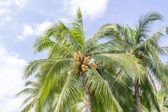Kokospalm met blauwe hemelachtergrond Stock Foto