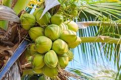Kokospalm met kokosnotenfruit Stock Fotografie