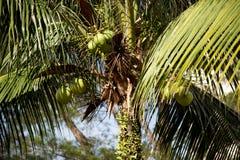 Kokospalm och kokosnötter Royaltyfria Bilder